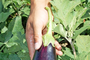 Demystifying GMOs for gardeners