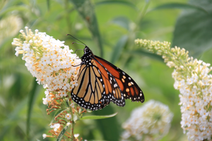 Saving monarchs: What you plant can make a difference