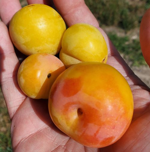 Early varieties of peaches and plums