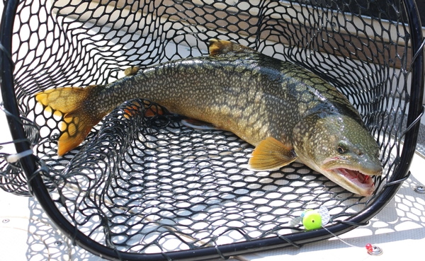Wild produced Lake Trout more often seen in angler catches, a sign of recovery for this native species in Lake Huron. Brandon Schroeder | Michigan Sea Grant