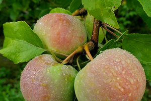Southwest Michigan fruit update – Aug. 4, 2020
