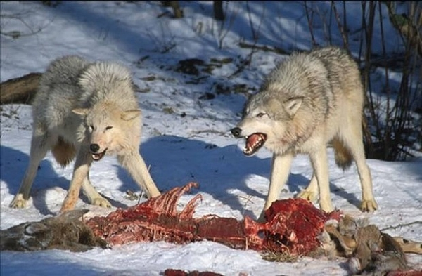 wolves attacking.