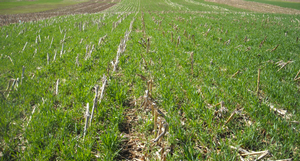 Cereal rye cover crops growing post corn