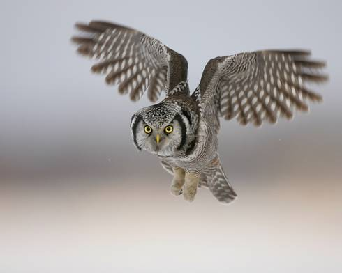 A northern hawk owl is seen with its wings spread as it hovers but appears to be looking straight at the camera.