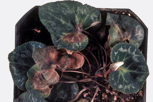 Photo 1. Foliage symptoms of Fusarium on cyclamen. Photo credit: Department of Plant Pathology Archive, North Carolina State University, Bugwood.org