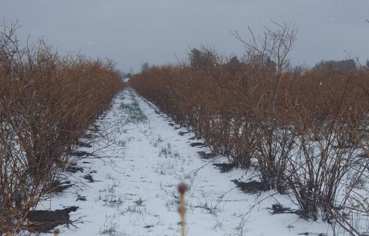 Cold, snowy weather continues to hold back southwest Michigan fruit crops. All photos by Mark Longstroth, MSU Extension.