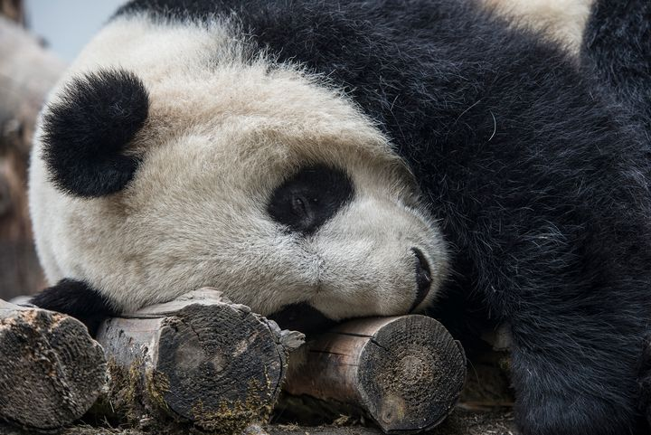 MSU scientists find that pandas are more resilient than once thought. Photo by Kurt Stepnitz