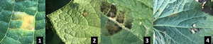 Cucumber downy mildew moves across Michigan