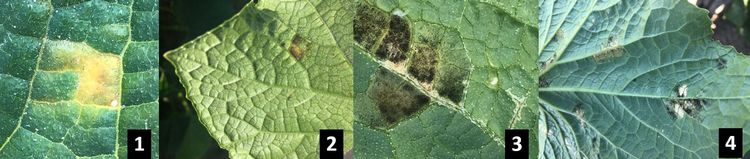 Downy mildew symptoms