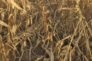 Check your southern Michigan corn fields for tar spot, lodged corn and stalk strength now