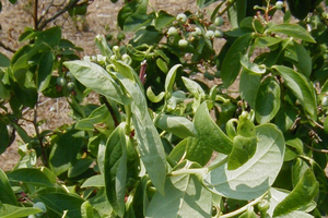 Blueberry plant showing leaf curling
