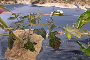 Phosphorous deficiency in transplanted field tomato