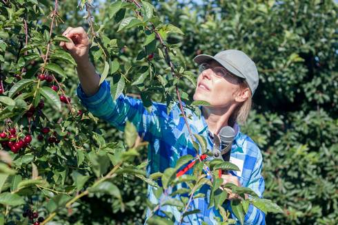 MSU plant breeder and geneticist Amy Iezzoni, who leads the RosBREED project, inspects a cherry tree.