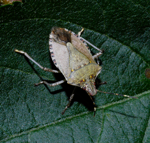 Adult is usually brown with whitish antennal segments and darker bands on the membranous, overlappin