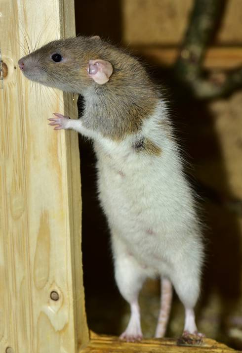 A rat standing next to a piece of wood.