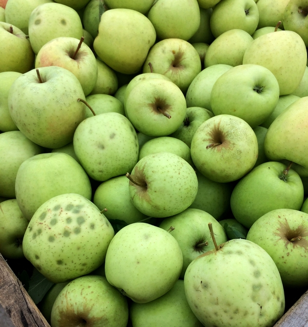 West central Michigan apple maturity report – September 28