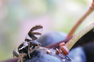 A blueberry maggot fly on a blueberry