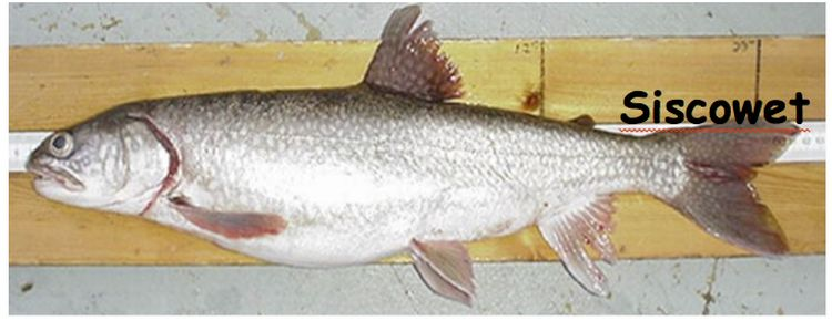 The siscowet lake trout is only found in Lake Superior and is the main predator in the deepwater region of the lake. Photo: Shawn Sitar | Michigan Department of Natural Resources