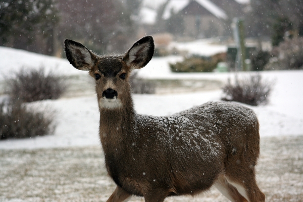 whitetail deer standing in snow