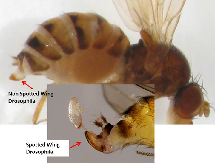 Differences between non spotted wing Drosophila and other Drosophila caught in traps baited with the new TRECE synthetic lure. Photo credits: Carlos Garcia and Rufus Isaacs, MSU