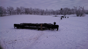 Preparing beef cows for winter conditions