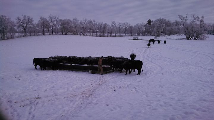 To minimize the effects of adverse weather conditions, cow-calf producers should plan ahead as much as possible and ensure cows come through the winter in good conditions.