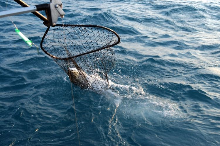 A fish is shown in a charter boat fish net being removed from the water after being caught on a charter fishing trip.