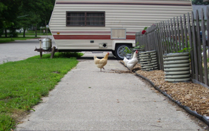 Chickens on sidewalk