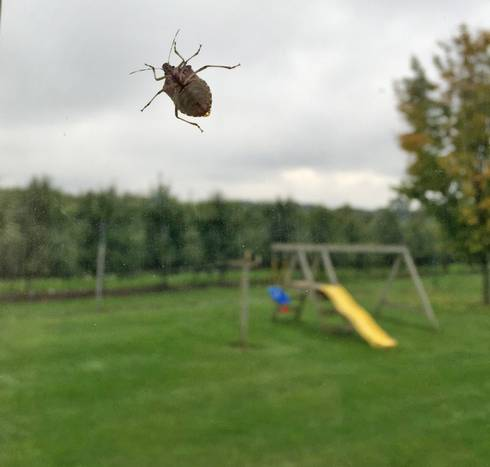 Adult brown marmorated stink bugs like to move into homes in the fall to take shelter for the winter. They are harmless to humans and pets, but are on the verge of being an important pest in fruit and vegetable crops in Michigan. Photo by Jim Engelsma.