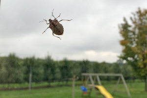 Why and how to report sightings of brown marmorated stink bugs in your home or business