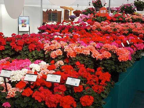 New cultivars debuted at California Spring Trials 2013. Photo credit: Heidi Wollaeger, MSU Extension