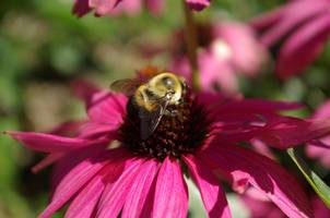A bee finds a coneflower. Photo by Rebecca Finneran.