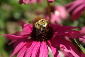 Do not spray pollinator-attractive plants with insecticides when open flowers are present