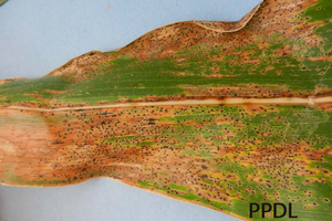 Corn tar spot: A new disease to look out for