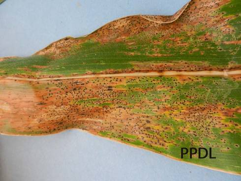 Corn tar spot. Photo courtesy of Purdue Plant and Pest Diagnostic Laboratory