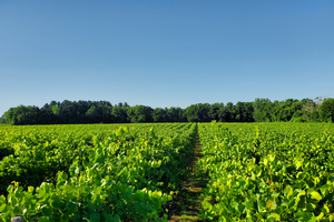 Michigan grape scouting report – July 15, 2020