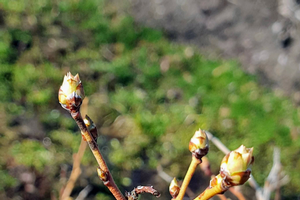 Duke blueberries are at bud burst