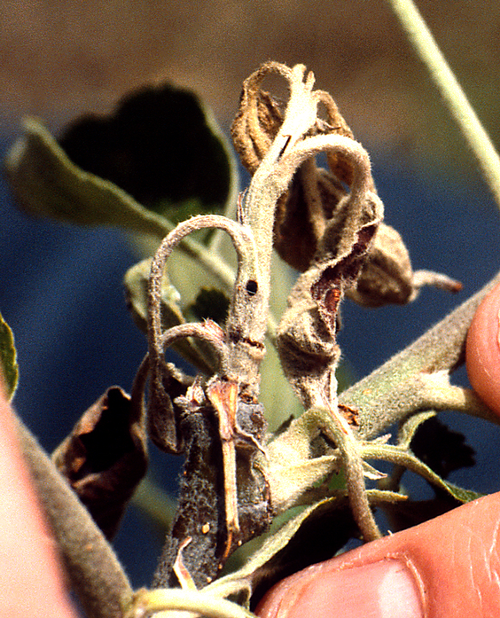 Larval feeding causes leaf wilt and die-back of blossoms and terminal shoots.