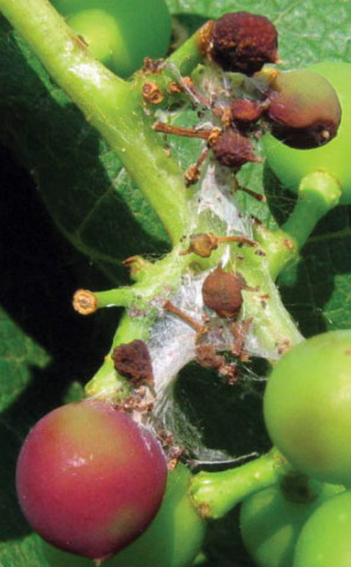 Webbing and frass with discoloration of berries from grape berry moth larva.