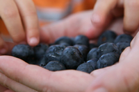 A child's hands reach for blueberries.