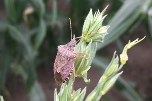 Brown marmorated stink bug management survey for commercial producers