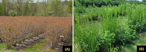 Blueberry fields with and without effective weed management