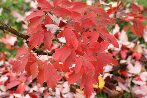 All-season trees: Paperbark maple