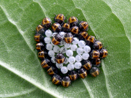 Newly-hatched egg mass of brown marmorated stink bug.