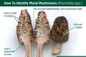 morel toxin