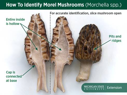 True morels are hollow inside and are attached to the mushroom stem at the base of the cap.