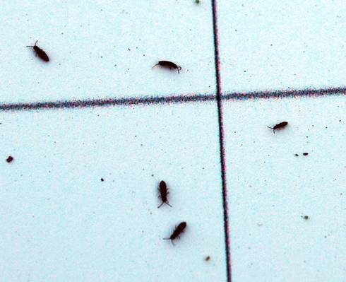 Close-up of springtails on a scouting board. Photo by Jill O'Donnell | Michigan State University Extension