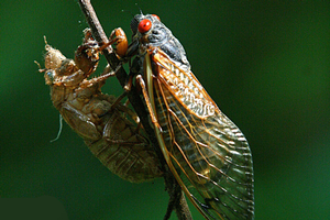 What's all the excitement about cicadas?