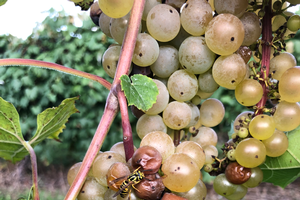 Grower input needed on sour rot and wasp challenges in vineyards