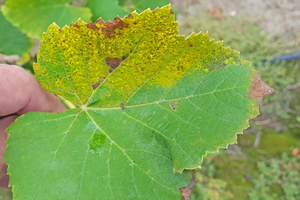 What can be done for late season downy mildew on grapes?
